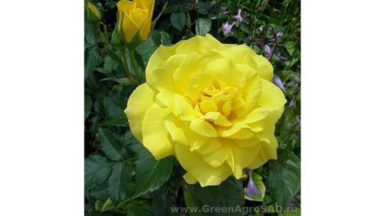 Роза чайно гибридная Ландора