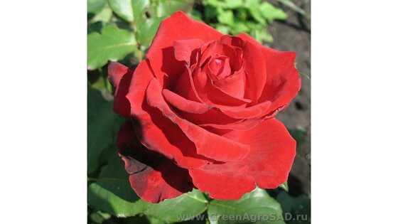 Роза чайно гибридная Лавли ред