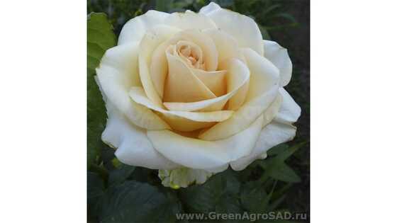 Роза чайно гибридная Леандра
