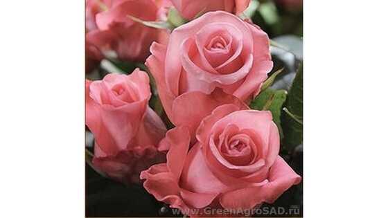 Роза чайно гибридная Ленни