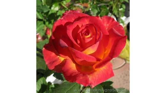 Роза чайно гибридная Лина