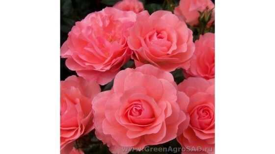 Роза миниатюрная Линда