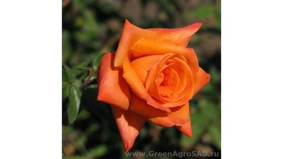 Роза чайно гибридная Ловерс митинг