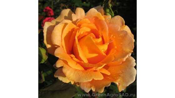 Роза чайно гибридная Луи де Фюнес