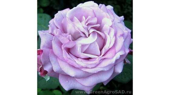 Роза чайно гибридная Майзер