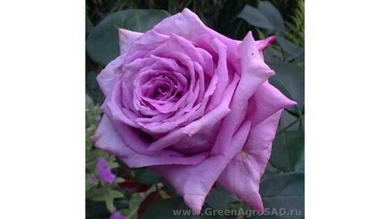 Роза чайно гибридная Мами Блю