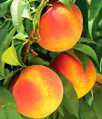 Персик колоновидный Медовый