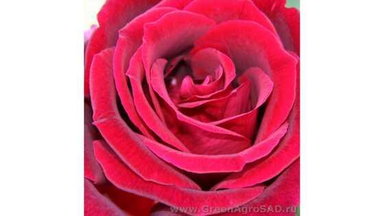 Роза чайно гибридная Милдред Шил
