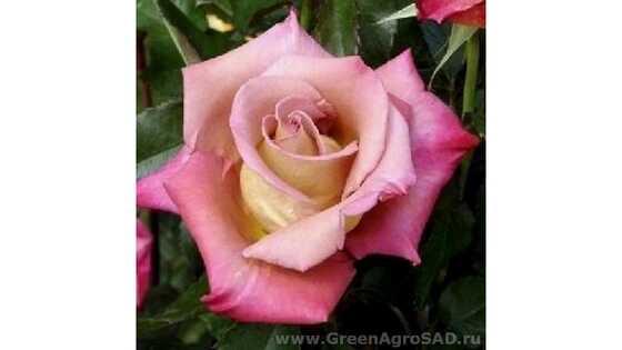 Роза чайно гибридная Мишель Друкер