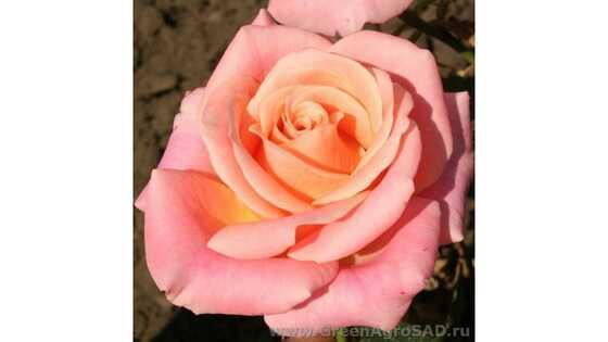 Роза чайно гибридная Мисс Пигги
