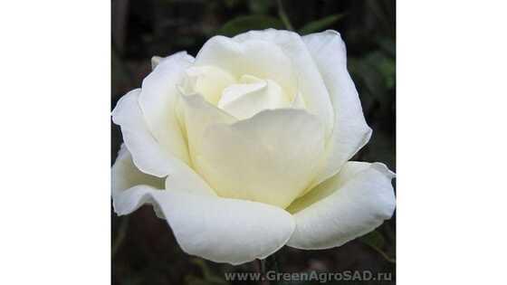 Роза чайно гибридная Моунт Шаста