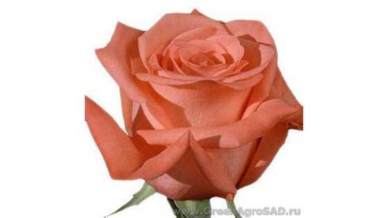 Роза чайно гибридная Муви Стар