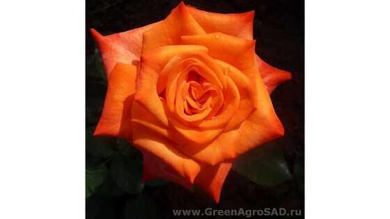 Роза чайно гибридная Наранга