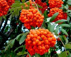 Рябина садовая Невежинская