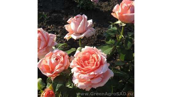Роза чайно гибридная Нобилис