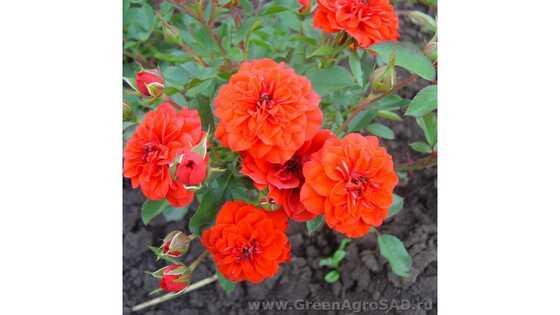 Роза бордюрная Оранж бэби