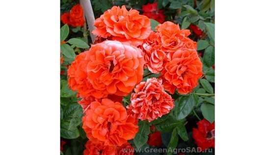 Роза миниатюрная Оранж Санблейз