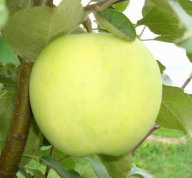 Яблоня Папировка
