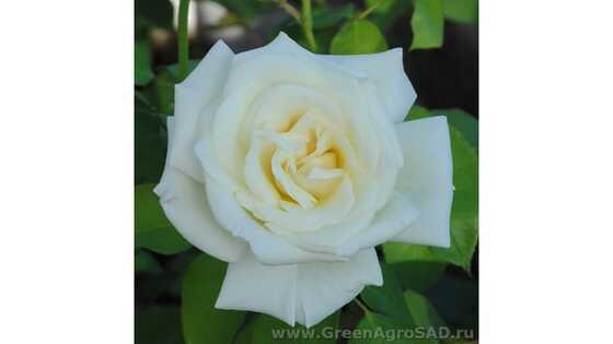 Роза чайно гибридная Паскали