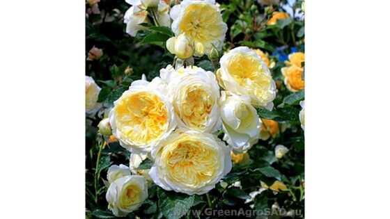 Роза английская Пелигрим