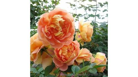 Роза английская Пэт Остин
