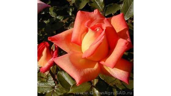 Роза чайно гибридная Пикадилли