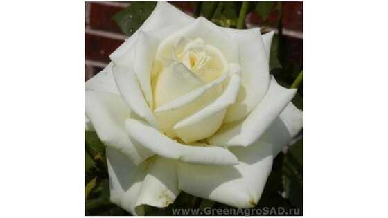 Роза чайно гибридная Полар Стар
