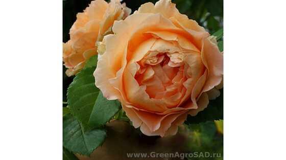 Роза плетистая Полька