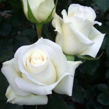 Роза Поло