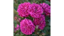 Роза почвопокровная Пурпл рейн