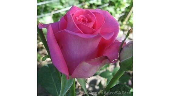 Роза чайно гибридная Равель