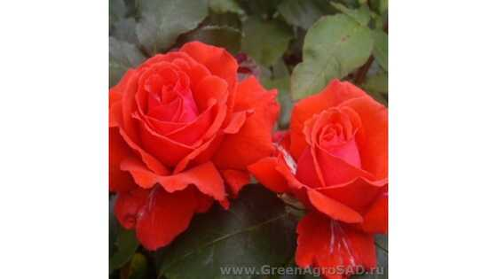Роза миниатюрная Ред Эльф