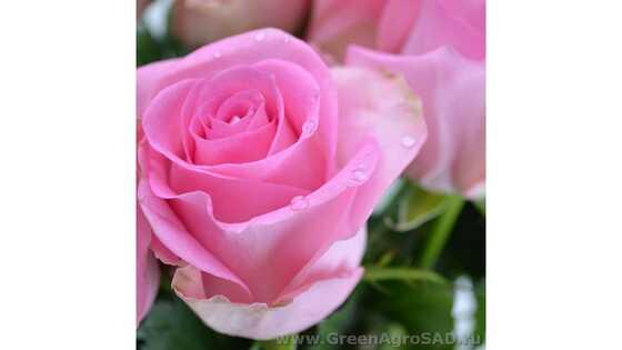Роза чайно гибридная Ревиваль
