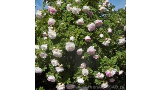 Роза плетистая Ритаусма