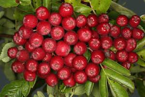 Рябина садовая Рубиновая