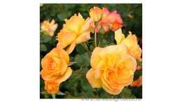 Роза английская Сахара