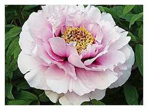 Пион Розовая пудра