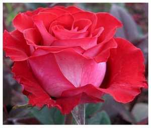 Роза Альянс