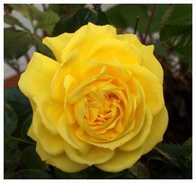 Роза Фрезия