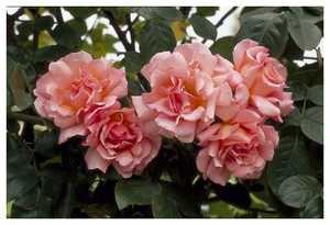 Роза Компассион