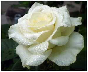 Роза Лили Понс