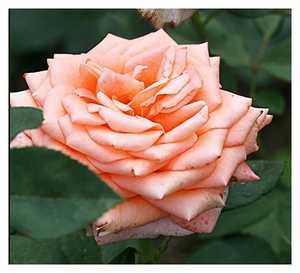 Роза Лоллипоп