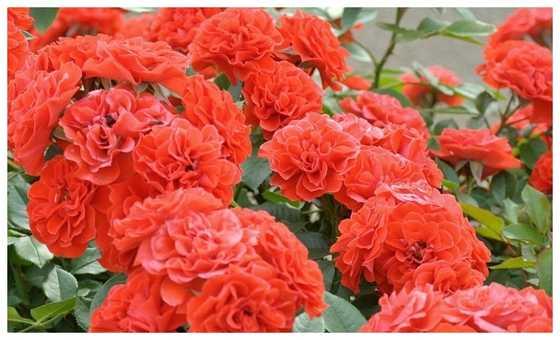 Роза Оранж Мейландина