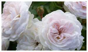 Роза Пикси