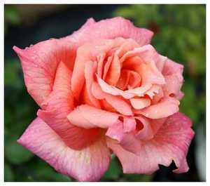 Роза Синьора