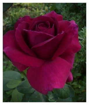 Роза Юрианда