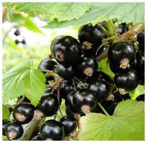 Смородина черная Селеченская-2