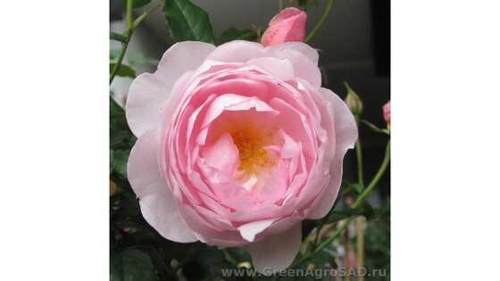 Роза английская Септё дайл