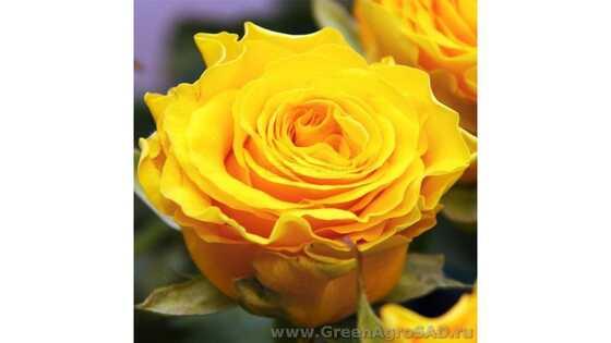 Роза чайно гибридная Сфинкс