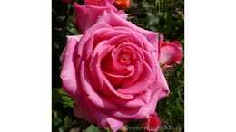 Роза чайно гибридная Шок Версилия